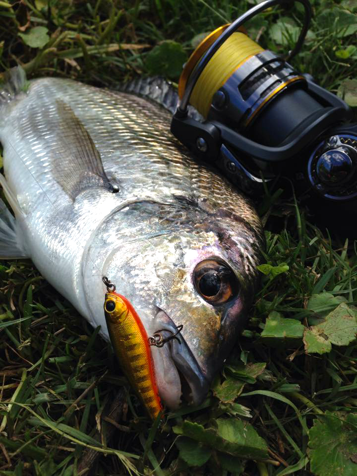 gold shinku bream m2500